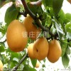 苗圃直销梨树树苗价格 红香酥梨树苗价格 高产优质梨树苗价格