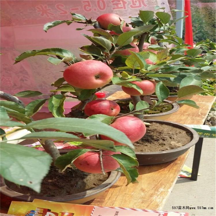 秦冠苹果苗 形态特征 秦冠苹果树势强健,树冠高大,树姿开张。树皮光滑,多年生枝暗红褐色,一年生枝褐色,节间长,皮孔大而密、椭圆形,茸毛少。果色红,是苹果类贮藏时间最长的水果。[3] 果大、色红、耐贮果实10 月中下旬成熟,平均单果重230g 以上,短圆锥形,颜色暗红,在海拔900m冷凉地区果实全面鲜红,果皮较厚。经后熟,果肉细脆、汁多、味甜、风味芳香。含可溶性固形物,16.