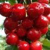 贵州仁怀樱桃苗 拉宾斯大樱桃苗特点 拉宾斯大樱桃苗基地