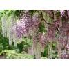 供应优良紫藤种子 发芽率高 成活率高 紫藤种子产地