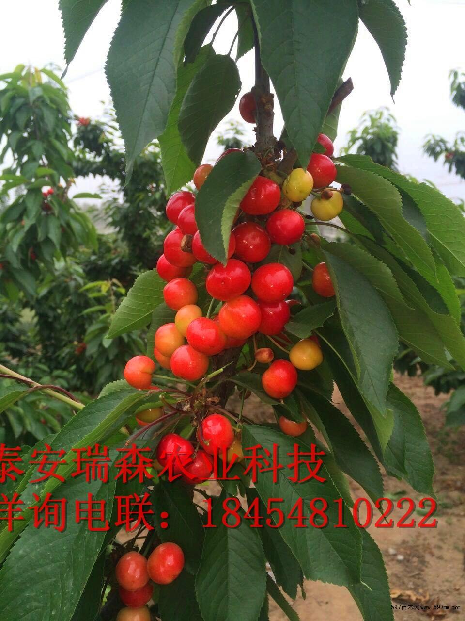 矮化美国大樱桃树苗批发樱桃树苗多少钱一棵图片