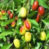 枣树苗批发直销 优质沾化冬枣枣树苗 品种纯正 价格优廉