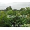 1米高香椿苗多少钱一株/哪里有卖