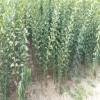 女神梨树苗价格   女神李子苗品种供应
