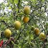 脱毒枳壳苗 枸橘苗 供应优质当年枸橘小苗 品种纯正量大从优