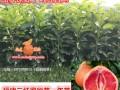 湖南三红蜜柚苗 (2图)