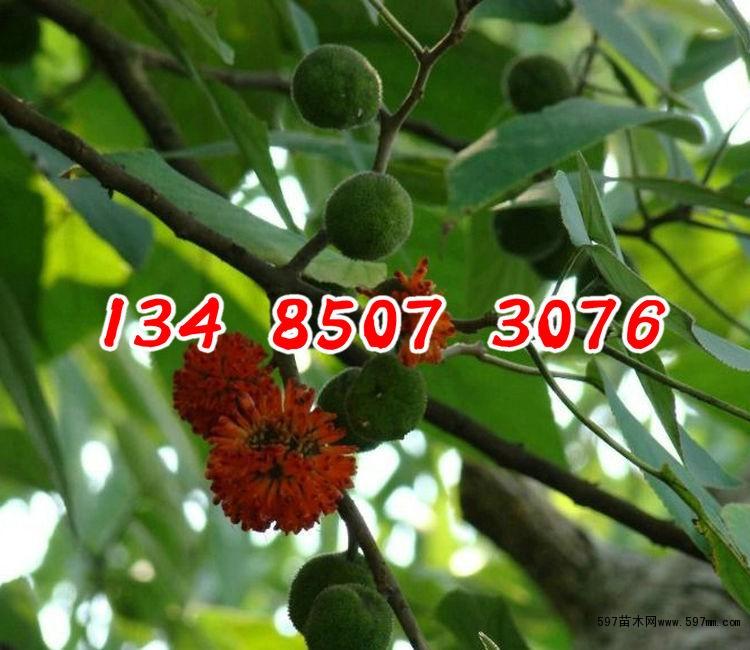 新采构树种子 杂交构树籽 构树苗构桃树 构乳树 楮树假杨梅