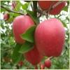 苹果苗供应  红富士苹果苗批发价格 林源果树苗供应