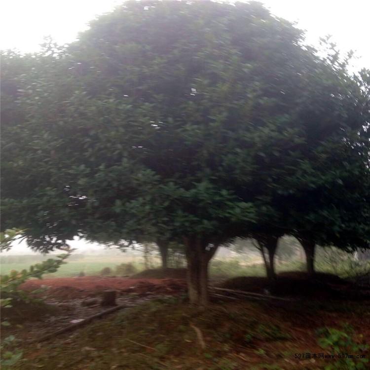 湖南桂花树价格
