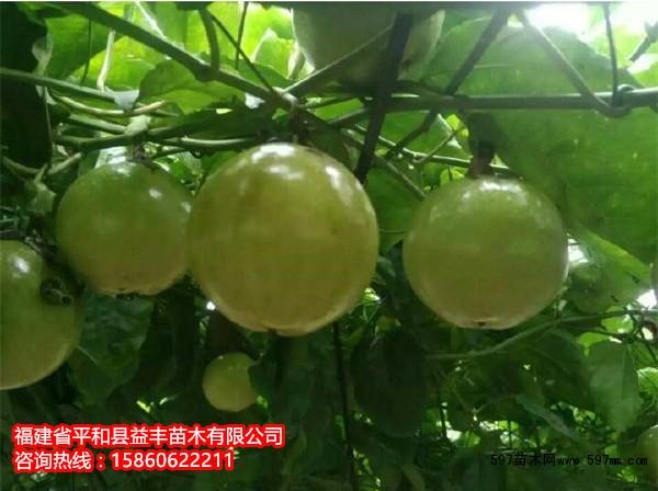 百香果树苗价格|百香果树苗一棵多少钱|果树小苗|绿化