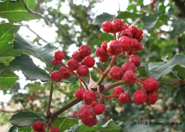 陇南大红袍花椒树苗,哪里有花椒苗,优质花椒苗批发