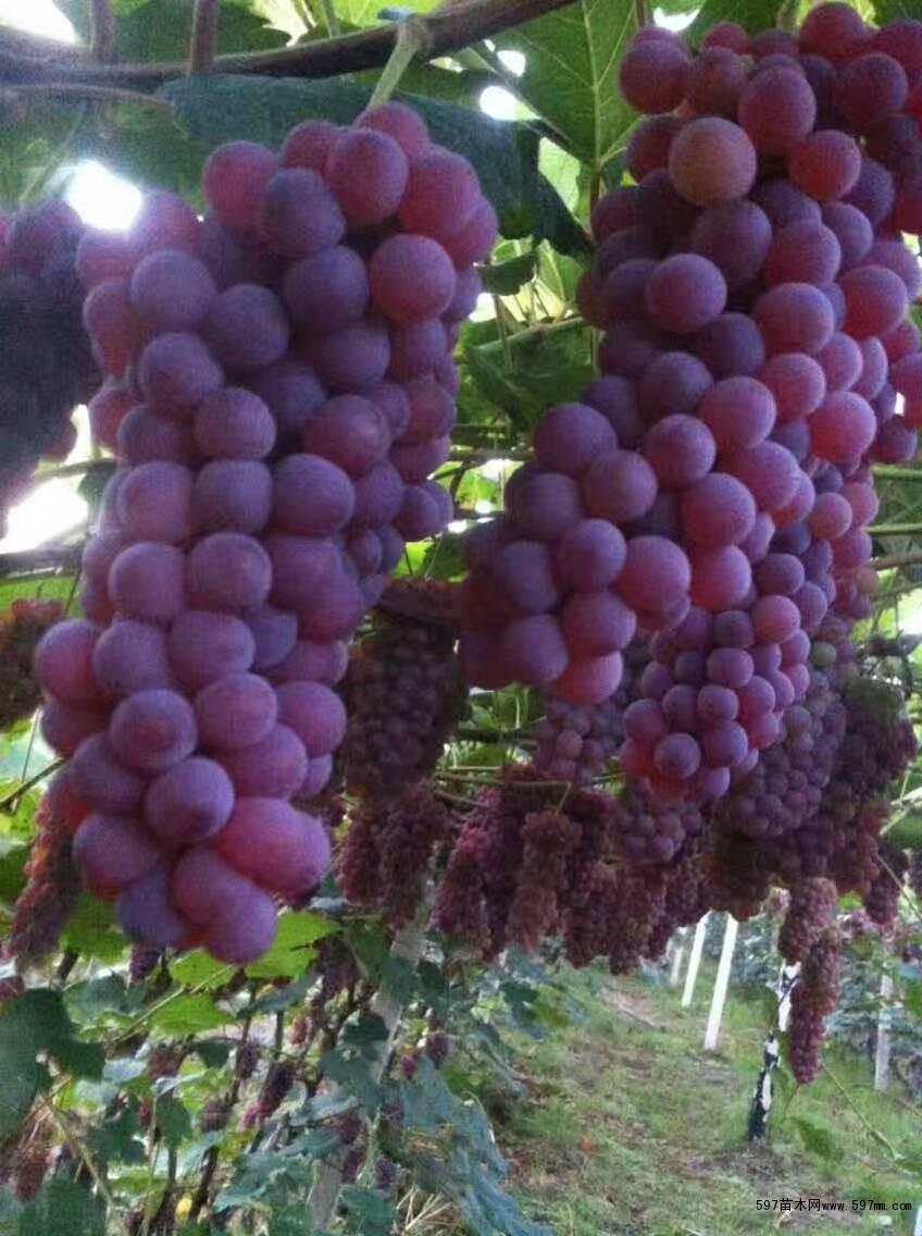 果树苗有,龙丰,123,鸡心果,k9,黄太平, 海棠,沙果,寒富,新苹一号