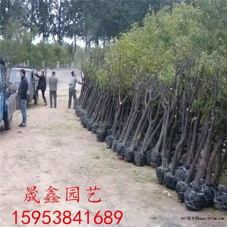 嫁接枣树苗一亩地栽多少