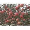 出售寒富苹果苗辽宁寒富苹果树苗质量第一