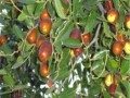 大枣枣树苗基地