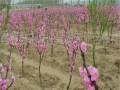 水蜜桃桃树苗供应