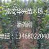 北美海棠基地供应6cm北美海棠苗