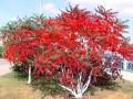 火炬樹 火炬樹小苗 河北火炬樹