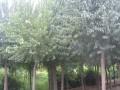 丝棉木 金叶丝绵木 丝棉木小苗