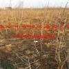 枣树苗哪里有卖 枣树苗多少钱一棵