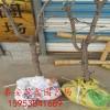 出售冬枣树苗 冬枣树苗多少钱一棵