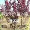 紫叶李品种 地茎2公分、3公分紫叶李 山东紫叶李种植