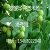核桃苗品种 地茎2公分、3公分核桃苗 山东青皮核桃苗