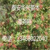 山东花椒苗品种 地茎2公分、3公分花椒苗 大红袍花椒苗