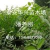 香椿苗基地 地茎1公分、1.5公分香椿苗价格 山东香椿苗