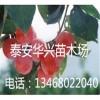 基地出售优质李子苗 0.8公分、1.2公分李子苗