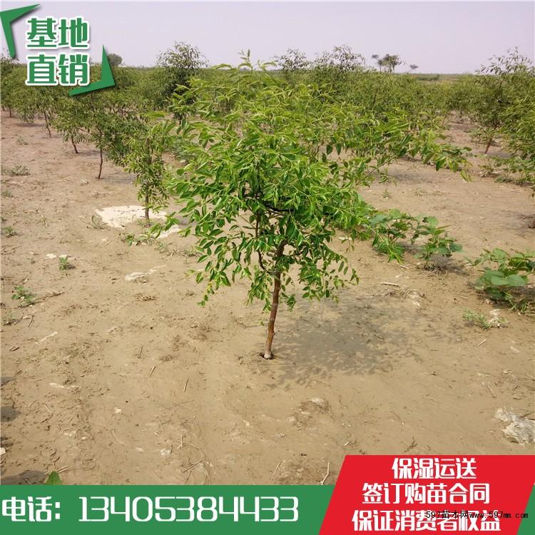 一公分枣树苗基地 高产枣树苗产地 枣树苗哪里有