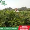 一公分高产板栗苗价格  无虫害 板栗苗基地  板栗苗产业