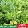 高产无虫害板栗苗价格  无虫害 板栗苗基地  板栗苗产业