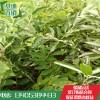 一公分板优质栗苗价格  无虫害 板栗苗基地  板栗苗产业