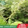优质高产一公分板栗苗价格  无虫害 板栗苗基地  板栗苗产业