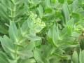定州八宝景天一年生草花