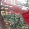 苗圃批发皂角树苗价格 皂角刺的药用价值功效皂角种植方法
