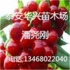 华兴苗木场供应樱桃苗 地茎3公分、4公分樱桃苗