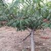 志森园艺供应 早 中 晚 桃树苗价格 早 中 晚桃树苗批发