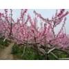 桃树大量供应桃树出售量大从优