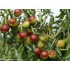 今年5公分枣树价格**8公分枣树价格**15公分枣树价格