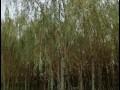 金丝垂柳树苗
