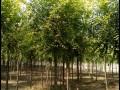 金葉榆樹苗