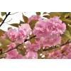 【福建省地径8公分】日本樱花树【广东地径10公分】日本樱花树