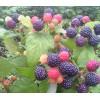 供应:果树苗 树莓 树莓苗 当年结果规格齐全 量大优惠