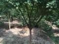 常州鸡爪槭