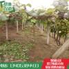 一公分巨峰葡萄苗哪里有  葡萄苗价格  葡萄苗基地