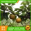 綠寶石梨樹苗、綠寶石梨樹苗價格