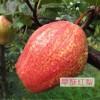 早酥红梨梨苗哪里有卖的 早酥红梨梨苗价格
