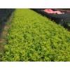 今年连翘苗价格,绿化小苗,供应信息。